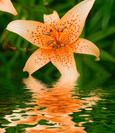Lily in a garden with reflection photo