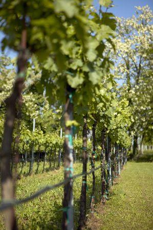 cabernet: Italian Cabernet vineyard in spring (shallow DOF)