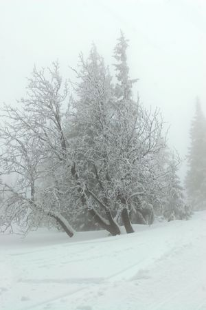 ski, sky, slope, snow, spruce, tree, trees, white, winter    photo