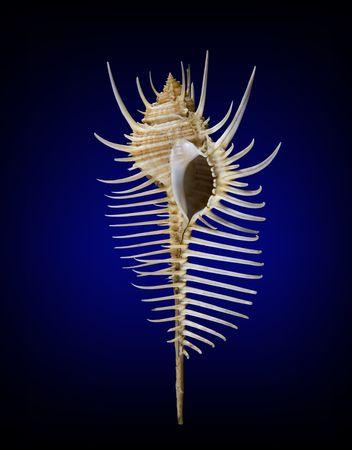mollusk: seashell, seashell, shell, mollusk, scallop