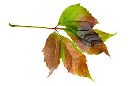 leafage: Leafage of wild grape on white background Stock Photo