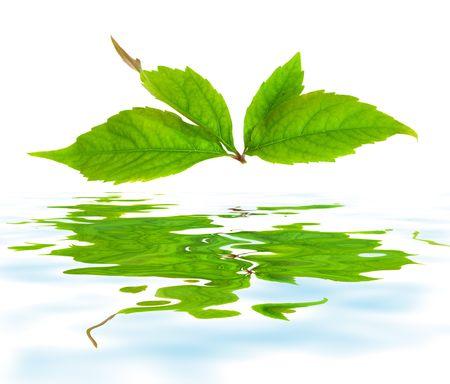 Leafage of wild grape on white background photo