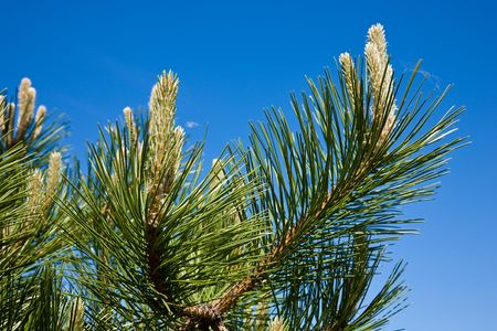 Decorative pine on the blue sky background Stock Photo - 7085391