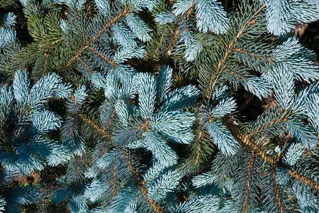 Decorative pine on the blue sky background Stock Photo - 7085480