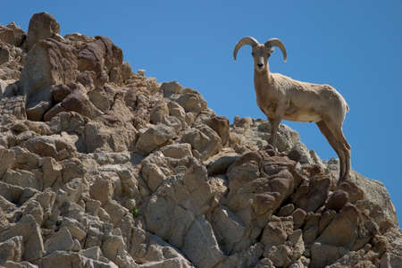 ridgeline: Profile of a bighorn sheep on rocky ridgeline.