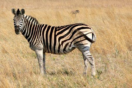 Zebra with new  Zebra grazing in a field Stock Photo