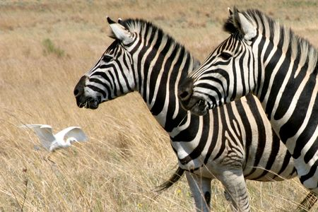 Zebras looking out for predators