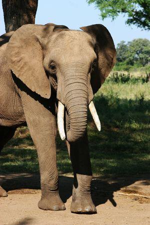simbabwe: Afrikanischen Elefanten in Simbabwe