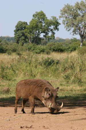 tusk: Wild boar with tusk