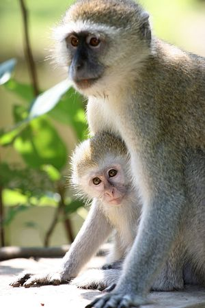 Monkey Mother protecting her young Child