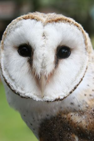 Sammy the Owl looking at the camera