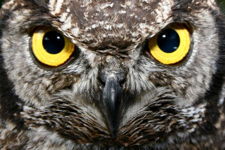 owl eye: Owl with big yellow eyes Stock Photo