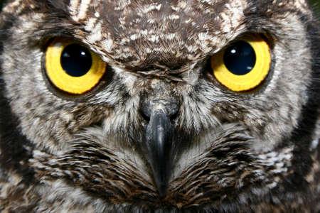 bird watching: Owl with big yellow eyes Stock Photo