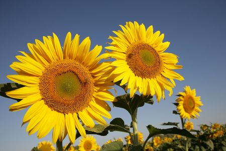 Sunflower in a field filled with Sunflowers