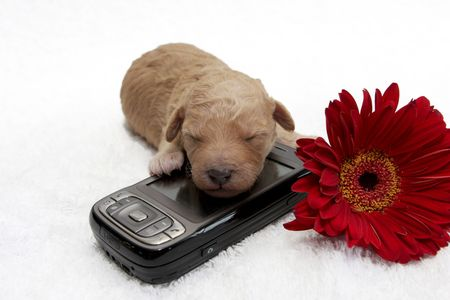 A little puppy sleeping close to a cell phone  photo