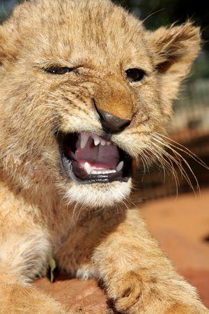 lion cub: A little angry  lion cub