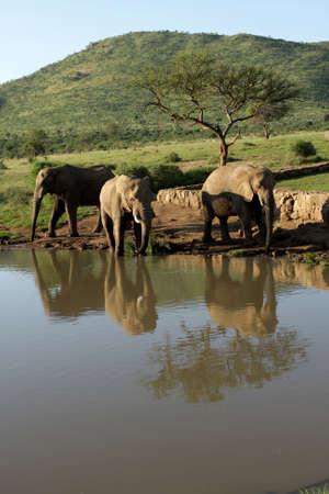 pozo de agua: Los elefantes de agua potable en una charca
