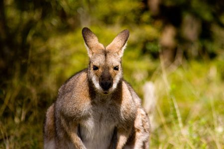 marsupial: A Kangaroo stares out of the bush