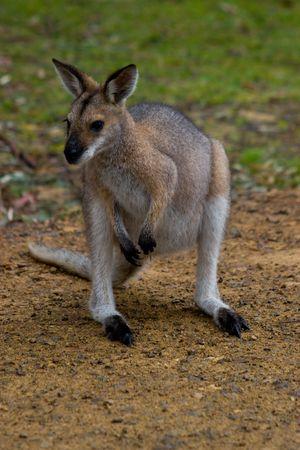 cousin: An australian wallaroo, the small cousin of the kangaroo