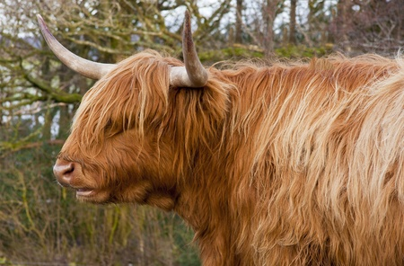longhorned: A longhorned cow with a shaggy coat