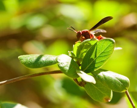 settled: A wasp settled on a leaf Stock Photo