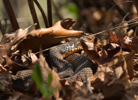 nestled: Yellow-Bellied Water Snake nestled amongst leaves.