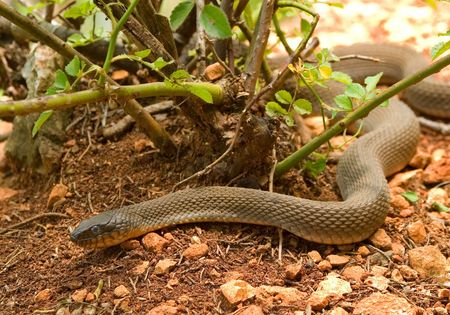 slithering: Snake Slithering across Pebbles