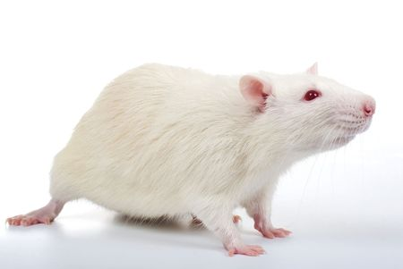a white rat isolated on white background