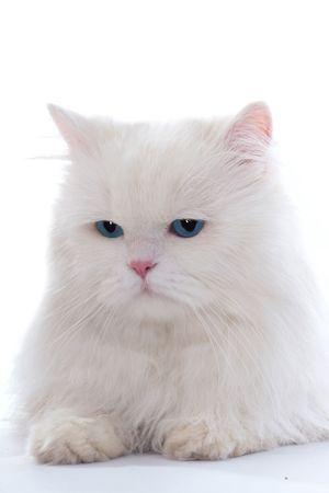 amusing: Amusing white fluffy cat