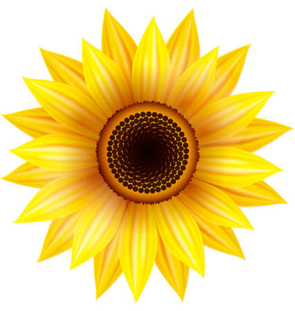 Sunflower illustration on a white background. Vector