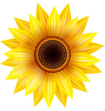 zonnebloem: Zonnebloem illustratie op een witte achtergrond. Stock Illustratie