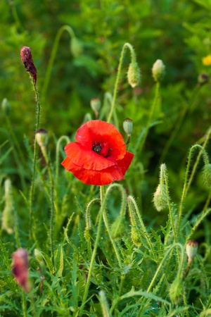 Beautiful red poppies on a background of green grass. photo