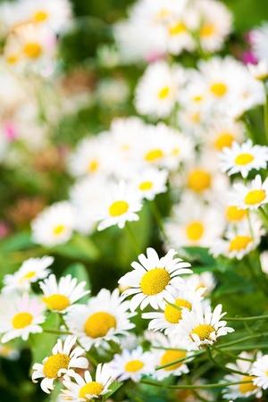 daisie: Margherite su uno sfondo di erba verde