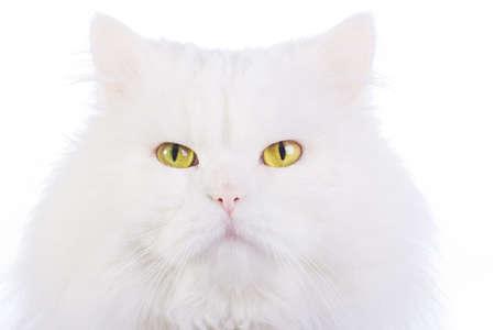 amusant: Amusant chat duveteux blanc