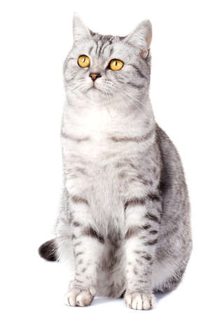 British striped cat on white background Stock Photo