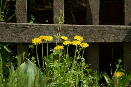 Dandelion and old fence Stock Photo - 400554