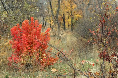 red bush: Autumn landscape with red bush between the trees