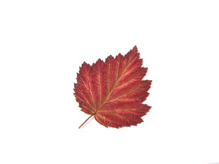 Autumn leaf over white background Stock Photo - 606820