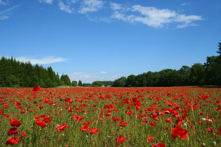 Field of poppies with houses in background Stock Photo