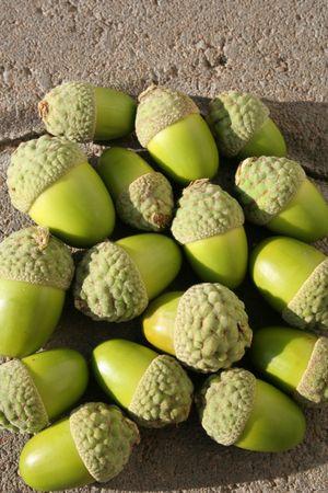 Fresh acorns Stock Photo
