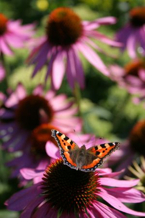Small tortoiseshell on a purple coneflower