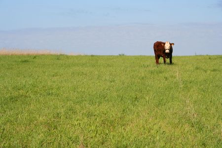 Cow on a meadow in Estonia. Stock Photo