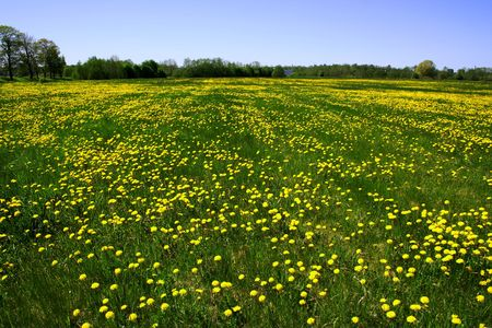 Fieldof dandelions in Estonia Stock Photo