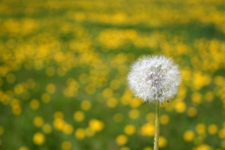 Dandelions seedhead against field of blooming dandelions