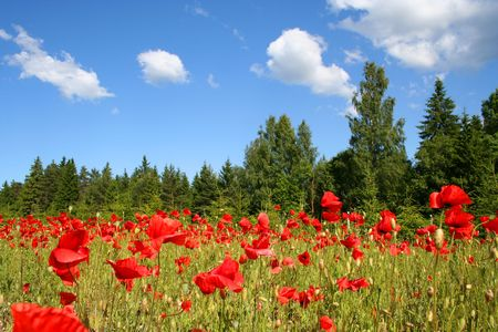 Field of red poppies in Estonia