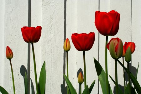 Red tulips against white wooden wall Stock Photo