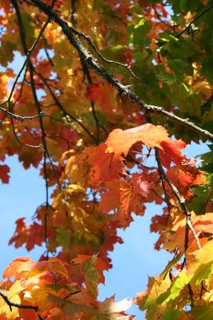 Colorful leaves of a maple tree Stock Photo