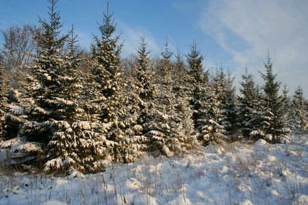 Snowy fir-trees