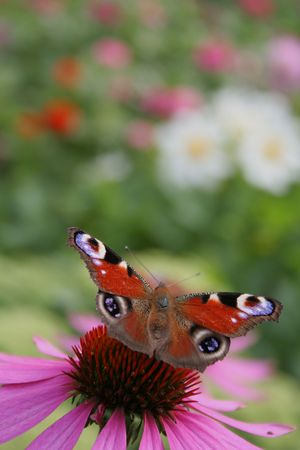 Peacock butterfly on a purple coneflower Stock Photo