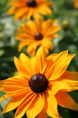 Rudbeckia flower Stock Photo